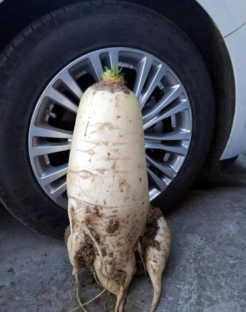 Củ cải trắng to gần bằng lốp ôtô