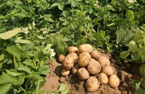 Phân bón Phú Điền với cây khoai tây
