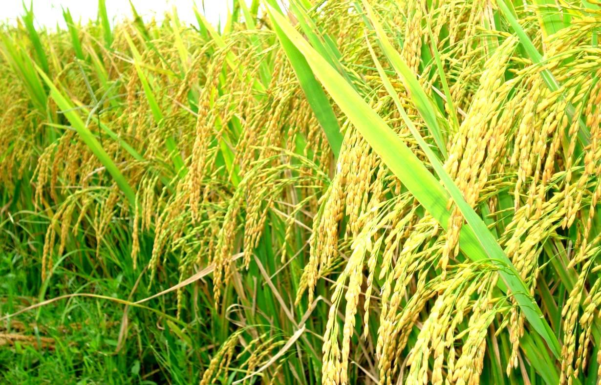 Bón NPK Phú Điền cho lúa mùa