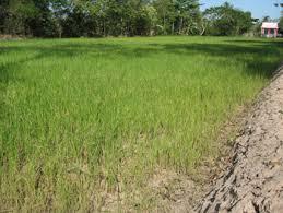 Nghiên cứu giống lúa chịu hạn mới