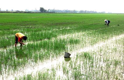 Phân bón Phú Điền cho lúa vụ Đông Xuân
